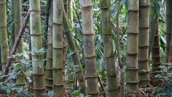 where bamboo is illegal